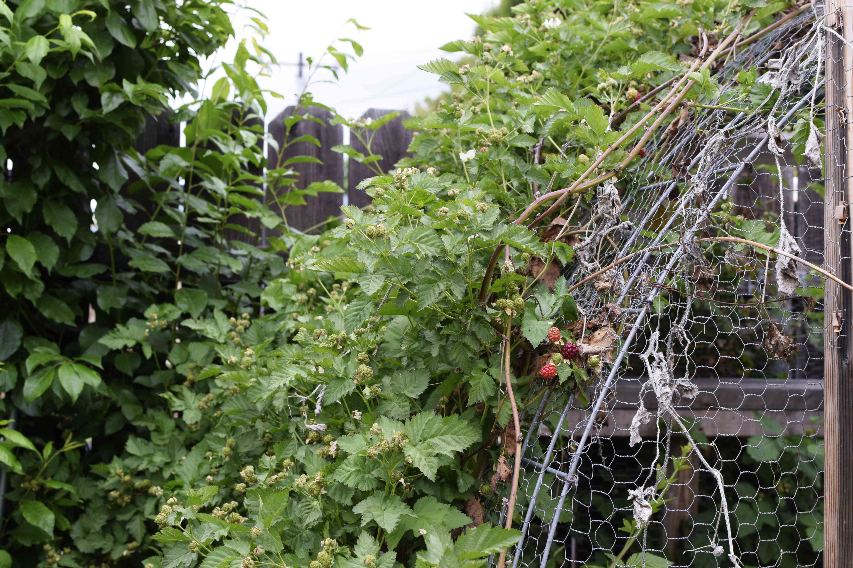 Blackberry plant vines growing over metal arch in garden