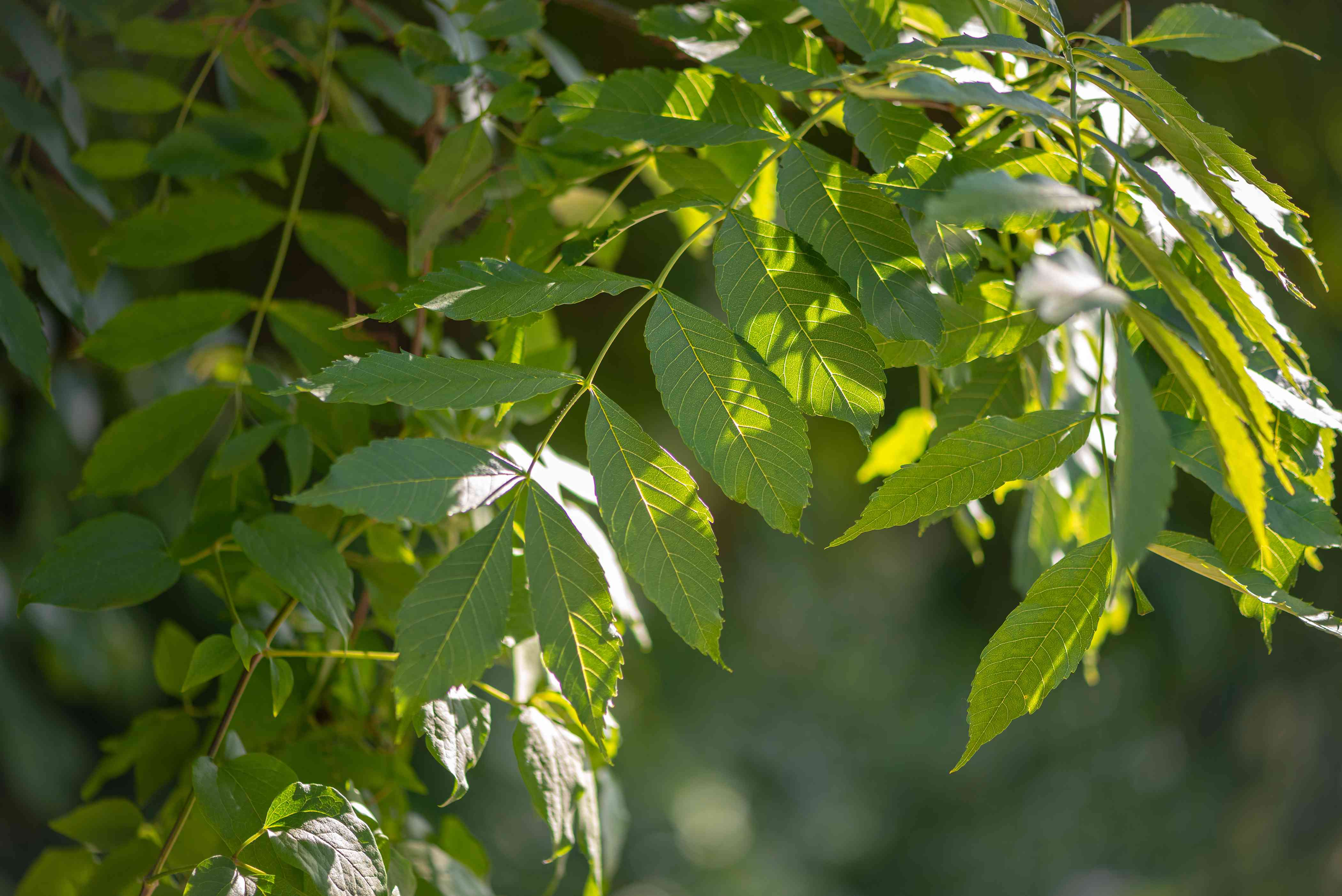 European ash tree branch with veined leaves in partial sunlight