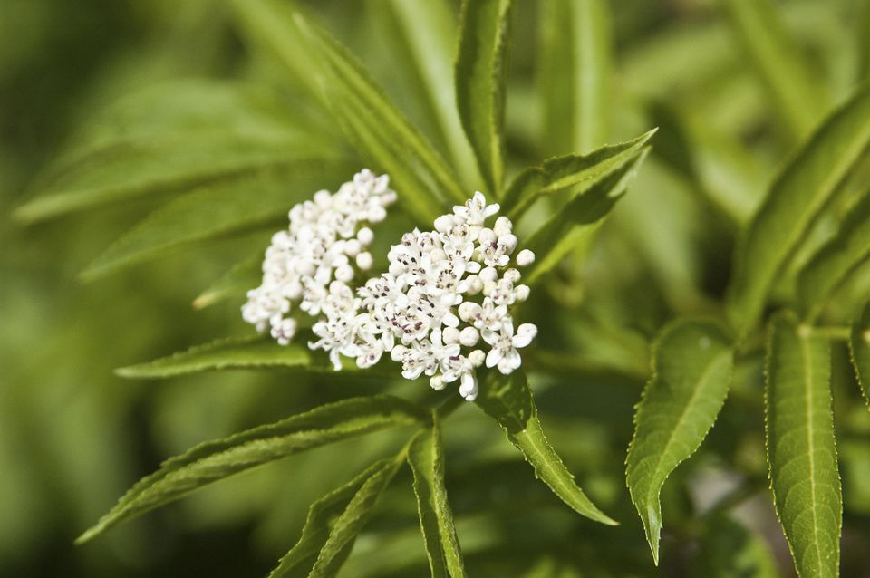 A blooming elder, Sambucus