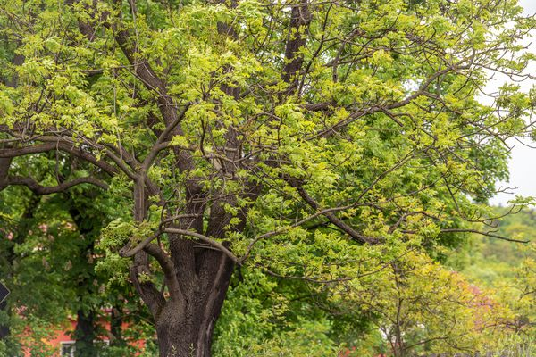 European ash tree with dark brown bark and yellowish-green leaves on sprawling branches
