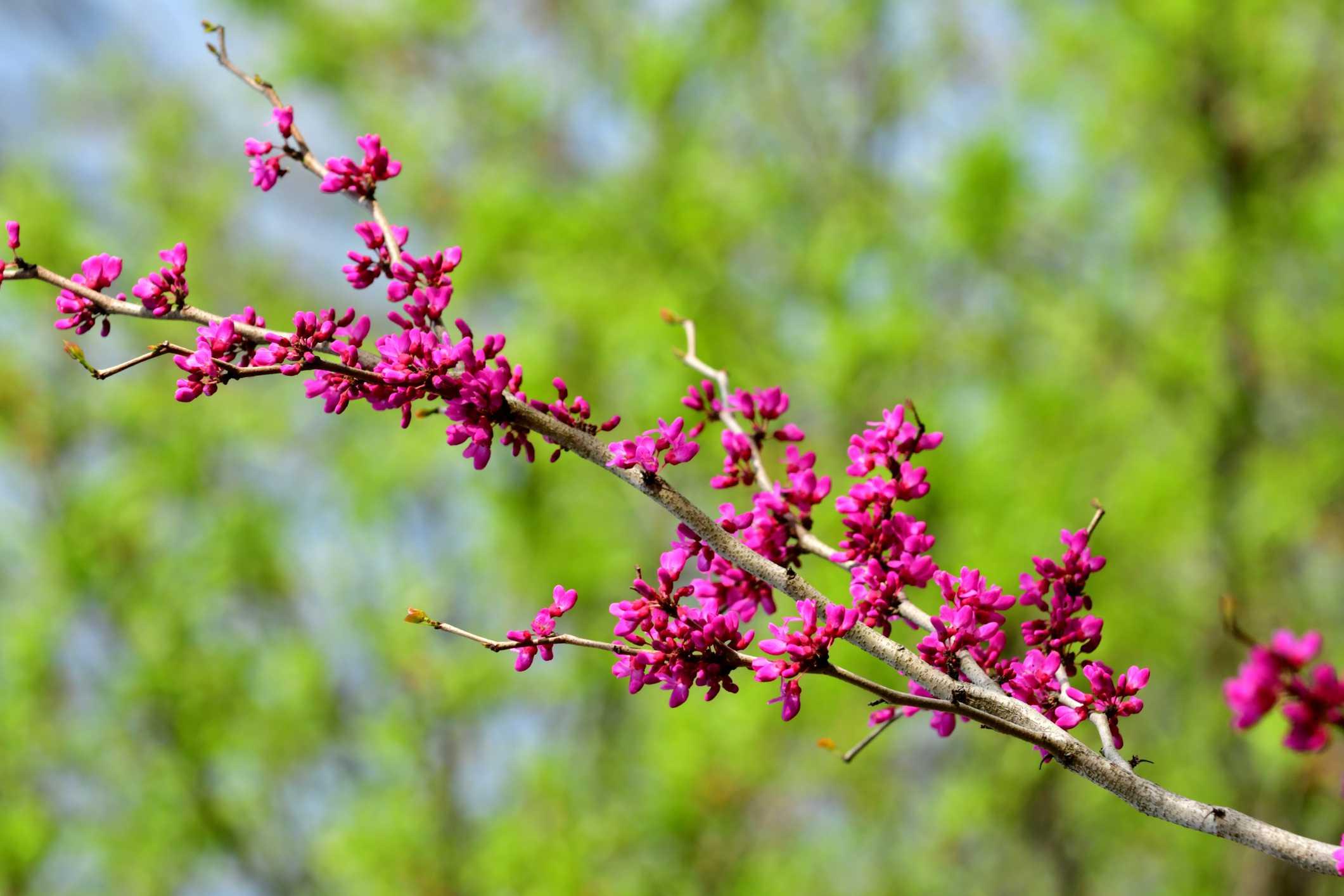 Rama de un árbol de redbud en flor
