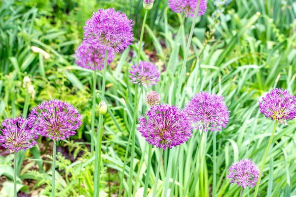 Ambassador allium plants with light purple globe-shaped flower heads on tall stems