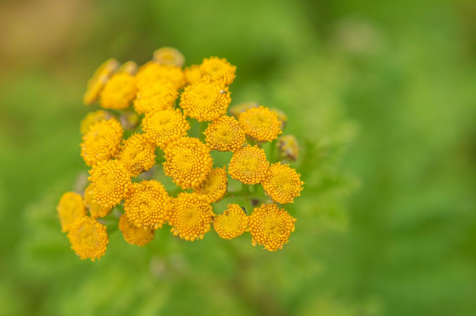 Common tansy plant with small yellow button-like flowers closeup