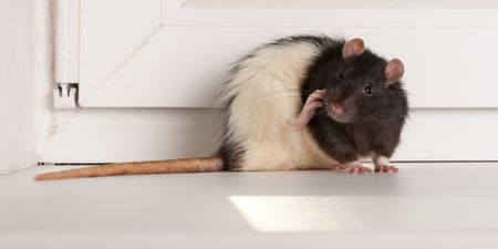 A Rat In House