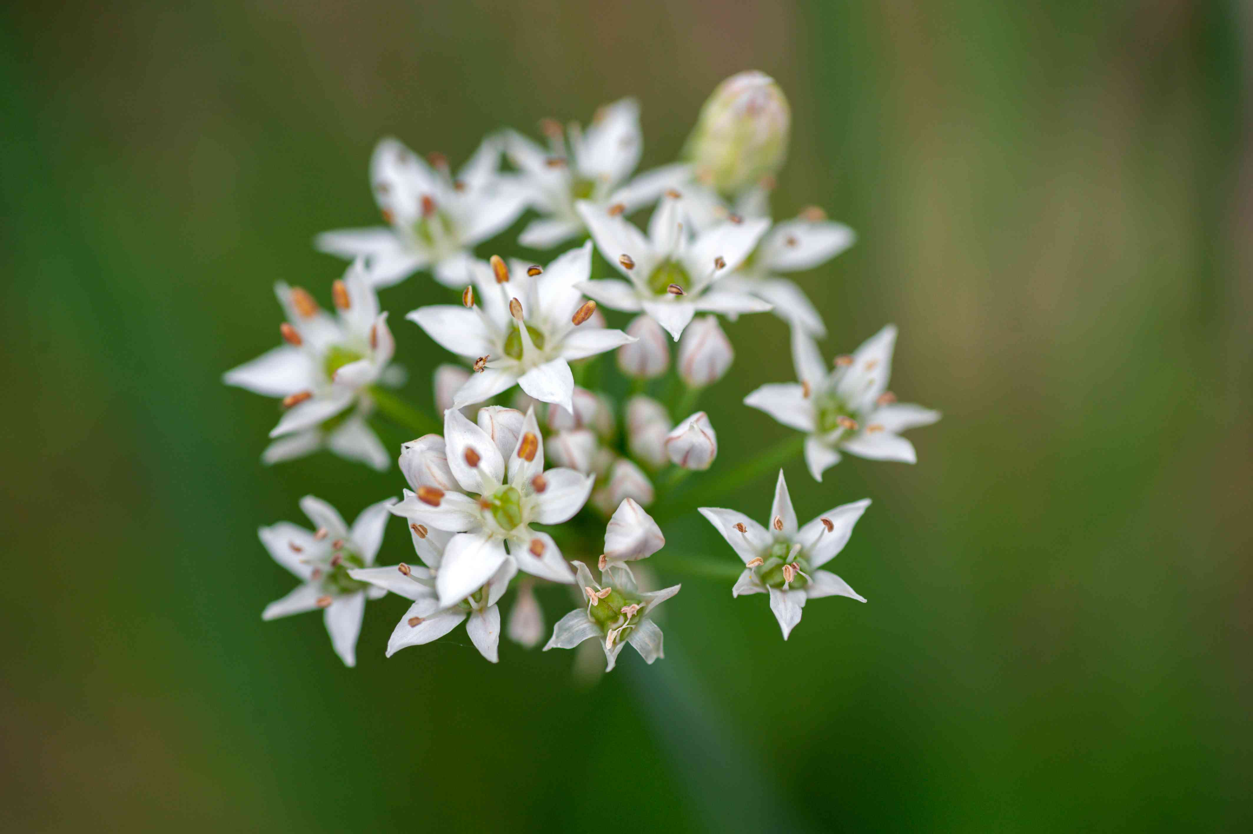 Garlic chives with small white star-shaped flowers clumped together closeup
