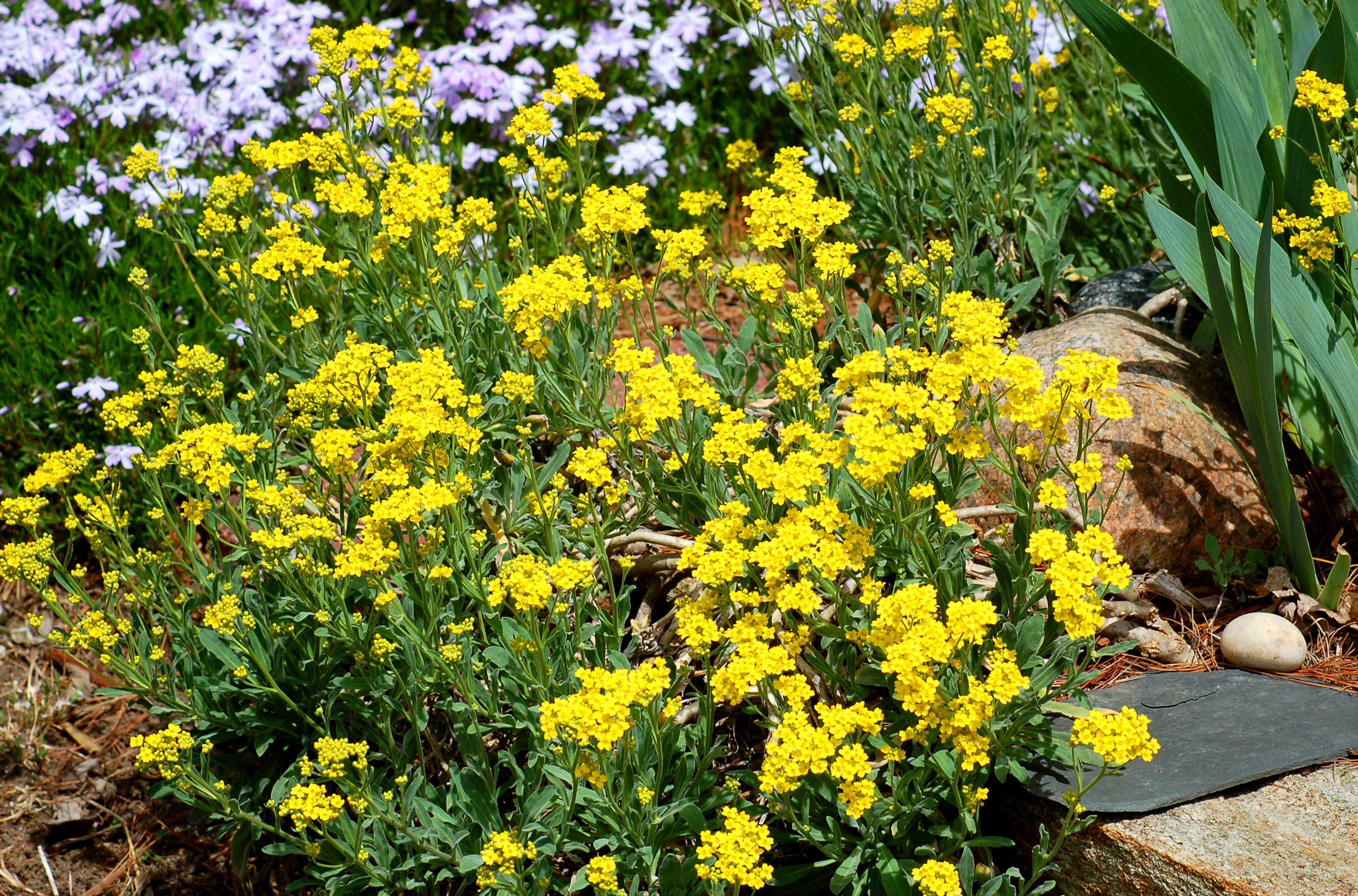 Yellow alyssum flowers amid phlox flowers and rocks.