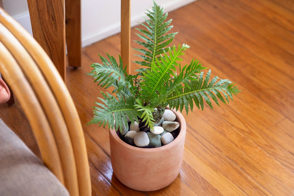 ribbed fern in a pot