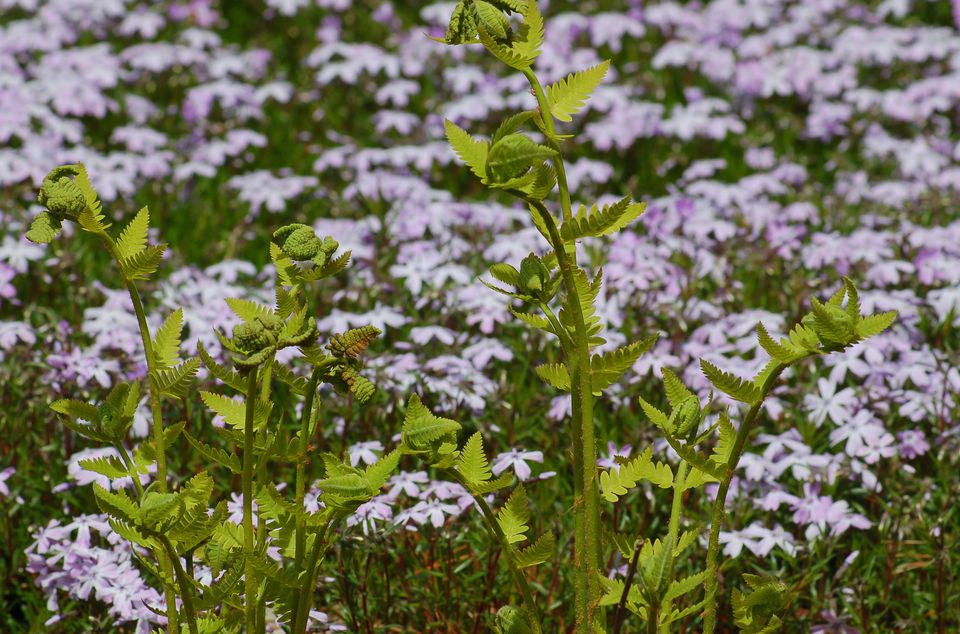 Interrupted fern looking great against a backdrop of creeping phlox