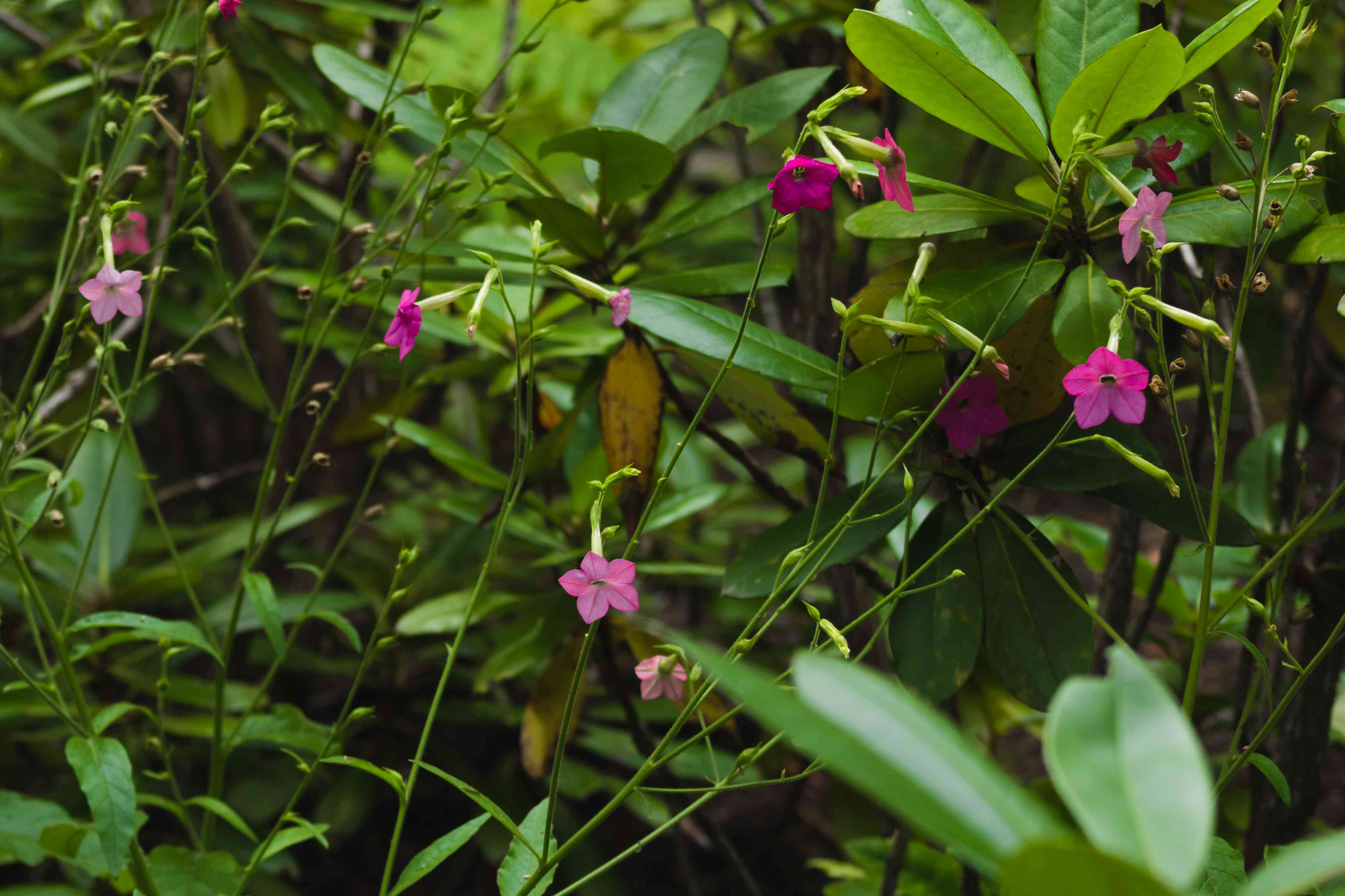 Flowering tobacco plant with flowers and foliage