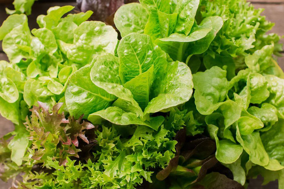 closeup of lettuce greens