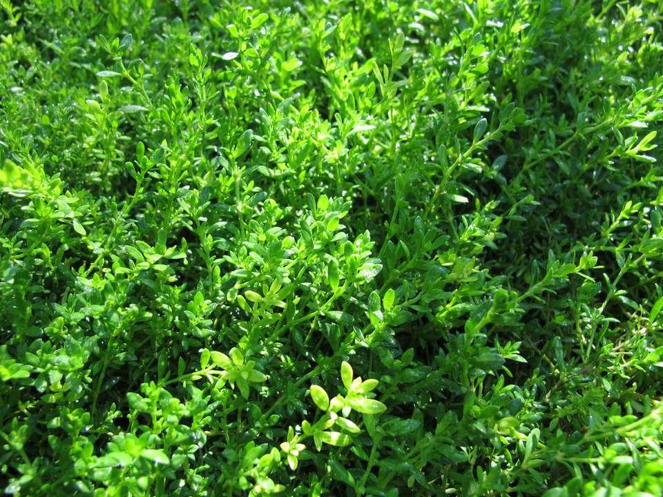 Rupturewort (Herniaria glabra) close up