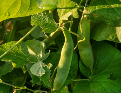 Heirloom pole beans hanging from vine with large leaves surrounding closeup