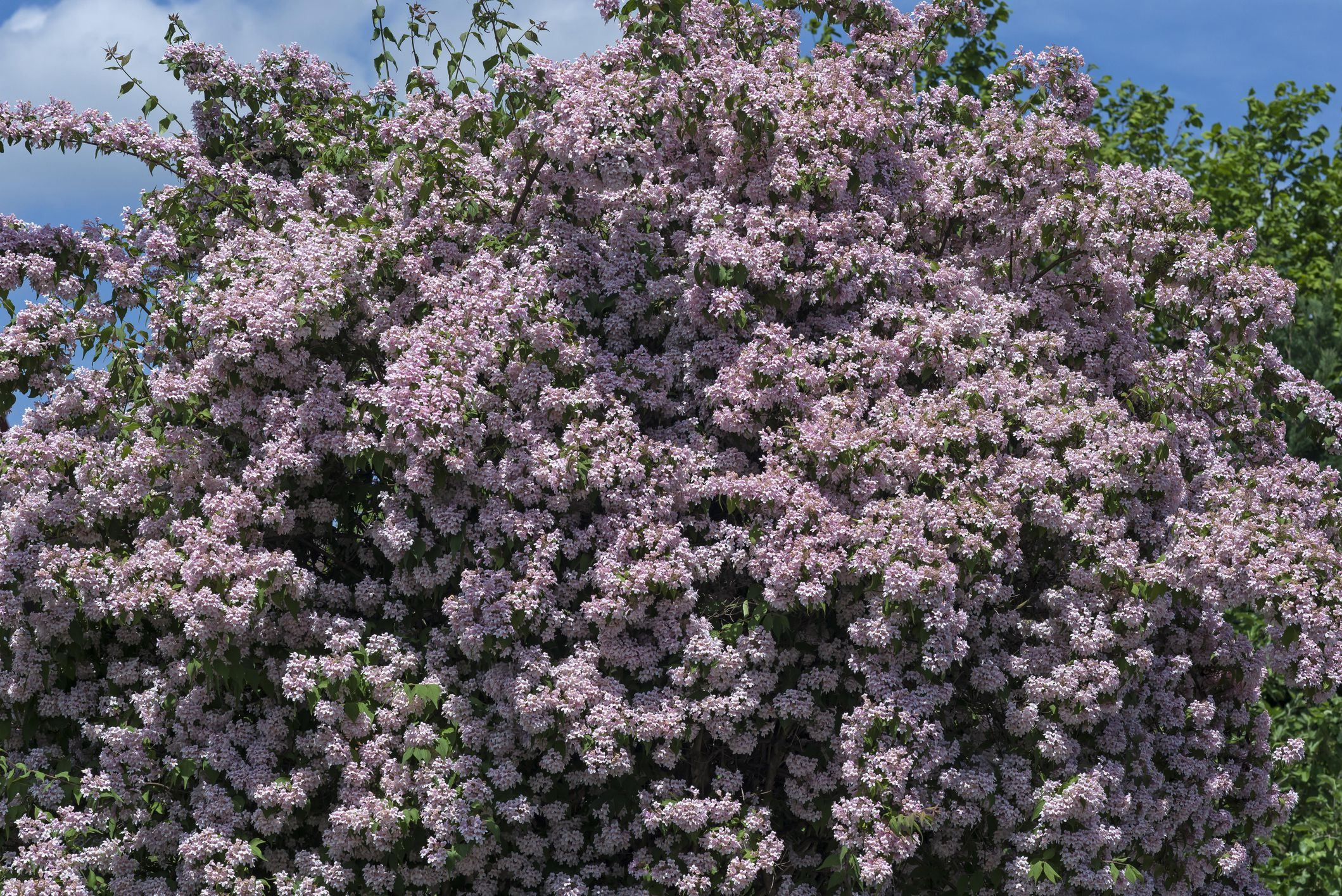 Low Maintenance Shrubs You Shouldnt Prune