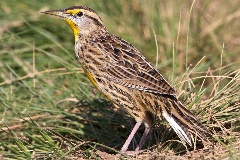 Western Meadowlark, the state bird of Nebraska, standing on grass.