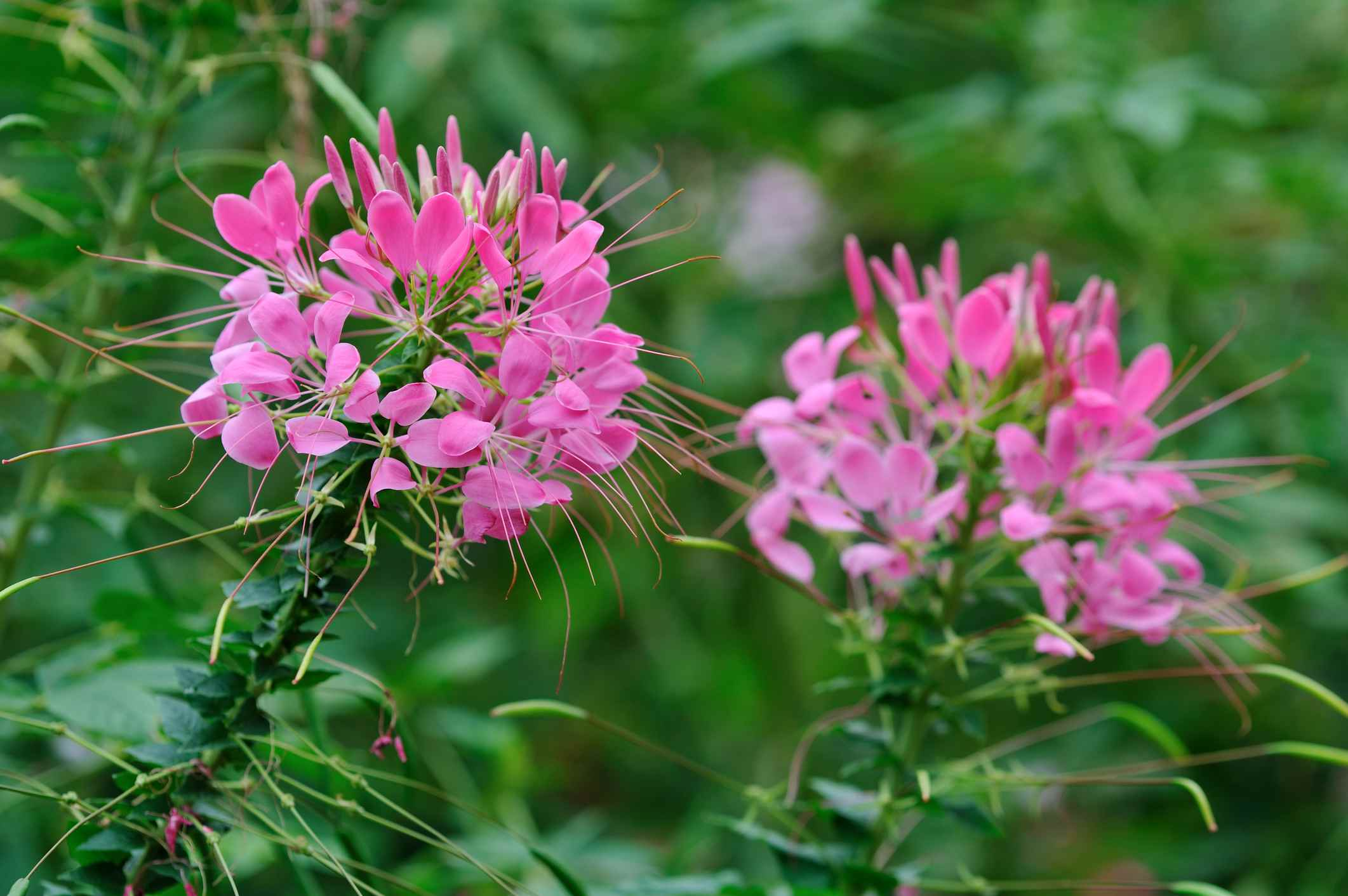 Annual flowers for dry shade areas cleome or spider flower cleome hassleriana izmirmasajfo