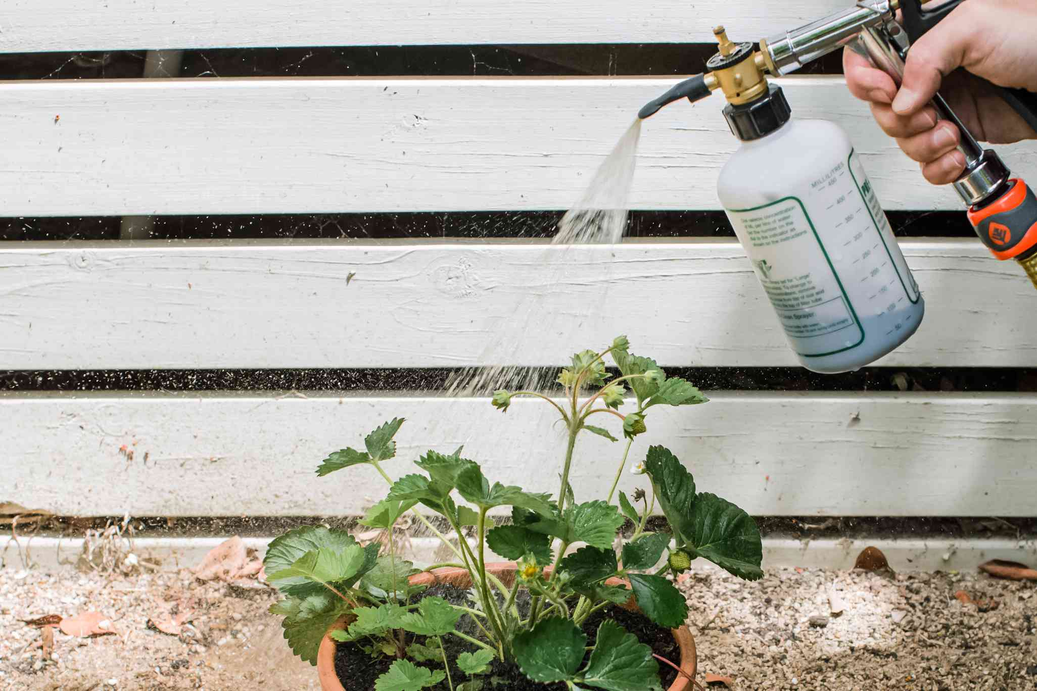 fertilizing strawberry plants